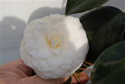 CAMELLIA WHITE BY THE GATE CAMELLIA-Camellia japonica-Double White Bloom  Zone 7