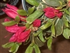 AZALEA RHODODENDRON RED LUSTER SINGLE FLOWERS BRIGHT RED COLOR WITH VARIEGATED FOLIAGE Zone 7