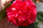 CAMELLIA KRAMER SUPREME CAMELLIA-Camellia japonica-Double Red Bloom Zone 8b