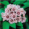 Mountain Laurel-KALMIA latifolia PEPPERMIINT Evergreen Blooms Pink buds and opens to Pink and White blooms Zone 5
