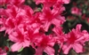 AZALEA RHODODENDRON INDICA-SOUTHERN CHARM-CLUSTERS OF PINK WITH WHITE BLOOMS Zone 8