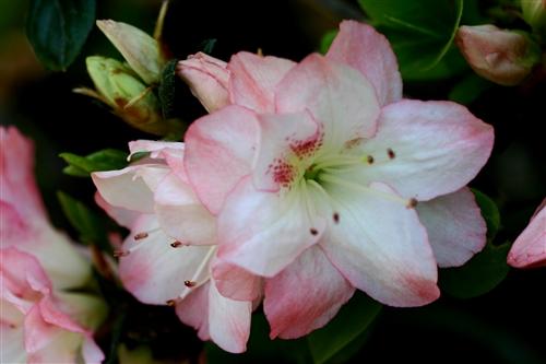 Azalea rhododendron amy large flowers in a cluster of white with azalea rhododendron amy large flowers in a cluster of white with pink edges zone 7 mightylinksfo