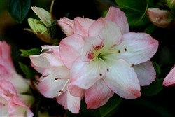 AZALEA RHODODENDRON AMY LARGE FLOWERS IN A CLUSTER OF  WHITE WITH PINK EDGES  Zone 7