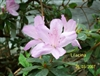 "AZALEA RHODODENDRON LILACINA-Southern Indica Fragrant 2-4"" Lavender/purple with bright specks  Zone 7"