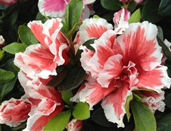 AZALEA RHODODENDRON MARDI GRAS-Southern Indica Hybrid Blooms reddish pink with pink highlights 3-4'H x 4-6'W Zone 7