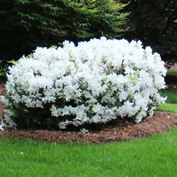AZALEA RHODODENDRON KING'S WHITE-Southern Indica Hybrid Blooms Large White 3-4'H x 4-6'W Zone 8