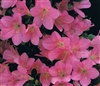 "AZALEA RHODODENDRON MOMO NO HARU-Satsuki Hybrid 1"" Star-shapped Dark Pink Blooms Low growing late season blooms Zone 7"