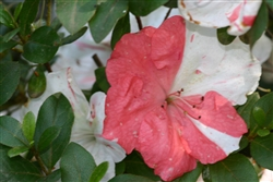 AZALEA RHODODENDRON ASTRONAUT-Holly Springs Hybrid Lg White to Pink Blooms Zone 6b
