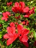 AZALEA RHODODENDRON CORONADO RED-James Harris Hybrid Large bright red Blooms Zone 5b