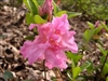 AZALEA RHODODENDRON HALLIE-Aromi Group Hybrid-Clusters of Double Pink Blooms Zone 6b