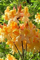 AZALEA RHODODENDRON DANCING RABBIT-Aromi Group Hybrid-Clusters of Golden to Orange Red Spicy Fragrant Blooms Zone 6A