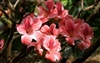 AZALEA RHODODENDRON DOGWOOD- Single Rose Pink with White Edge blooms Zone 8
