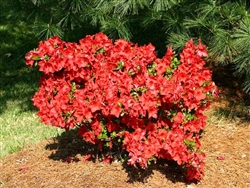 AZALEA RHODODENDRON JAY VALENTINE-HARRIS HYBRID SINGLE CLUSTER OF LARGE RED BLOOMS ZONE 7