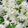 AZALEA RHODODENDRON GLACIER- Single and Clusters of White blooms with Slight Green Throat Zone 8
