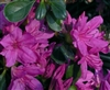 AZALEA RHODODENDRON MILDRED-Kurume Azalea Purple Blooms  Zone 6