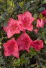 AZALEA RHODODENDRON NUCCIO'S WILD CHERRY-Satsuki Hybrid Azalea Large Cherry Red Colored Blooms  Zone 7