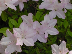 AZALEA RHODODENDRON RIVERMIST-Harris Hybrid Large White Faded to Violet Edges Zone 7