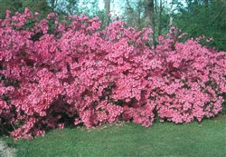 AZALEA RHODODENDRON INDICA-FISHER PINK-CLUSTERS OF PINK BLOOMS Zone 8