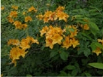 NATIVE RHODODENDRON AZALEA CALENDULACEUM 'YELLOW GOLDEN FLAME' YELLOW BLOOMS Zone 5