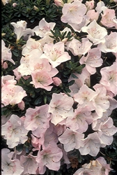 AZALEA RHODODENDRON TSUKI-NO-SHIMO-Satsuki Hybrid Blooms White with Reddish Faded Edges and Throughout  Zone 7