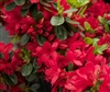 AZALEA RHODODENDRON WOLFPACK RED-Carla Hybrid Blooms Single Bright Red  Zone 6