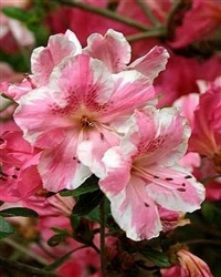 AZALEA RHODODENDRON CONVERSATION PIECE- Single and Clusters of White and Pink blooms Zone 6