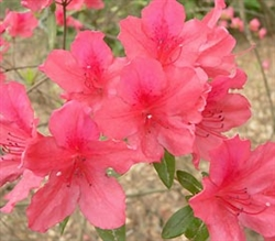 AZALEA RHODODENDRON PRESIDENT CLAEYS- Salmon Red Edged White with Rose-Crimson Spotting Blooms Zone 7