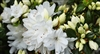 AZALEA RHODODENDRON SNOW- 3-5' Clusters of White Blooms Zone 6