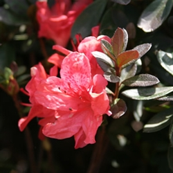 AZALEA RHODODENDRON INDICA-FASHION-CLUSTERS OF ORANGE RED BLOOMS Zone 6