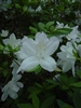 AZALEA RHODODENDRON SOUTHERN INDICA-G. G. GERBING-CLUSTERS OF WHITE BLOOMS Zone 7