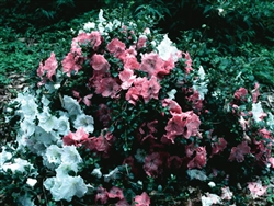 AZALEA RHODODENDRON SATSUKI-GUMPO PINK-CLUSTERS OF  LARGE ROSE PINK BLOOMS WITH DARKER FLECKS  Zone 7