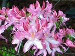 NATIVE RHODODENDRON AZALEA PRINOPHYLLUM- 'ROSESHELL' ROSY PINK BLOOMS, CINNAMON FRAGRANCE Zone 5