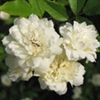 ROSE LADY BANKSII CLIMBING ROSE*WHITE BLOOMS Z 7