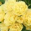 Temporarily out of stock....ROSE LADY BANKS CLIMBING ROSE YELLOW BLOOMS Z7