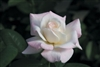 Temporarily out of stock...PRISTINE*HYBRID TEA ROSE LONG STEM BLUSHING YELLOW-WHITE PINK EDGES Z 6
