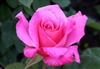 Temporarily out of stock....ROSE PINK PEACE*HYBRID TEA ROSE LONG STEM FRAGRANT DEEP DUSTY PINK Z 5