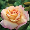 ROSE PEACE-HYBRID TEA ROSE LONG STEM FRAGRANT SOFT YELLOW EDGED PINK Z 4