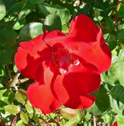 ALTISSIMO CLIMBING ROSE RED LONG LASTING SAUCER SHAPED BLOOMS Z 5