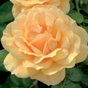 ROSE EASY GOING-FLORIBUNDA SHRUB TYPE ROSE-Golden Yellow to Apricot Blooms  Z 6