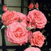 ROSE AMERICA CLIMBING ROSE SALMON BLOOMS WITH SPICY FRAGRANCE Z 4-9
