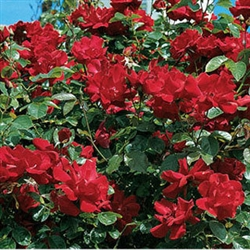 DON JUAN-CLIMBING ROSE-DEEP RED FRAGRANT BLOOMS Z 6