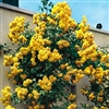 ROYAL GOLD-CLIMBING ROSE-LARGE FRUITY FRAGRANT GOLDEN YELLOW BLOOMS Z 6