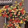 ROSE  JOSEPH'S COAT CLIMBING ROSE-CLUSTERS OF MULTI-COLORED YELLOW TO ORANGE TO PINK-RED FRAGRANT BLOOMS  Z 5