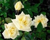 ISABELLA SPRUNT-HYBRID TEA ROSE LARGE YELLOW BLOOMS