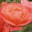 LIVIN' EASY SHRUB TYPE APRICOT ORANGE BLEND FLORIBUNDA ROSE Z 4