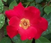 BRAVE PATRIOT-BUCK SHRUB-TYPE ROSE RED BLOOMS FRAGRANT