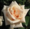 SAFRANO-HYBRID TEA ROSE APRICOT-YELLOW BLOOMS FRAGRANT