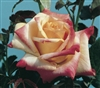 Out of stock.....BROADWAY HYBRID TEA ROSE LONG STEM YELLOW-GOLD PINK EDGES