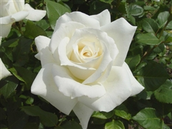 PASCALI-WHITE HYBRID TEA ROSE-Zone 6