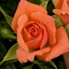 GEMSTONE SALMON-PINK BLOOMS MICRO-MINI ROSE GARDEN TREASURES